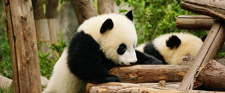 (Pandas) Andrew and Annemarie via Flickr 755